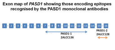 PASD1  Schematic exon structure of the PASD1 gene and the regions used to generate immunogens for the production of PASD1 monoclonal antibodies.