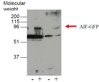 Western blot was performed on transfected 293T cell lysates using anti-AIF [3C11].