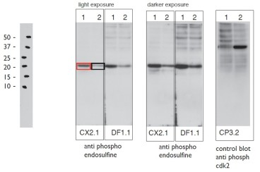 Figure. Immunoblot of 1) cytostatic factor extracts (CSF) and 2) Interphase egg extract using two Anti-Phospho Endosulfine mAbs and a control Anti-Phospho-cdk2 mAb. Lane 1 - CSF extract containing highly phosphorylated endosulfine; Lane 2 - Interphase extract containing hypo - phosphorylated endosulfine