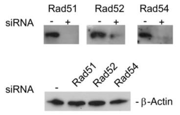 Adapted from Muylaert et al. 2010. J Biol Chem. 285(18):13761-8. PMID: 20215648. Figure. Western blot analysis of Rad51, Rad52, and Rad54 following siRNA treatment in MRC5 cells.