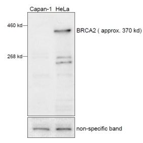 MTA42 is raised against C-terminus of BRCA2. HeLa cells contain full length BRCA2 whereas Capan-1 cells have a BRCA2 C-terminal truncation.
