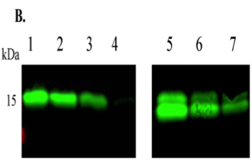 Clone 28A used to purifiy and quantify human BMP15 by Western Blot. B. The processed mature region of pro-mature BMP15 was quantified by Western blotting [mab28 monoclonal antibody [42]] using the mature region of hBMP15 (R&D Systems) as a standard. Lanes 1–4: mature region of BMP15 (R&D Systems); 200, 100, 50 and 10 ng, respectively. Lanes 5–7: decreasing doses of the purified BMP15 pro-mature complex. Source: Sudiman et al. 2014. PLoS One. 9(7):e103563. PMID: 25058588.