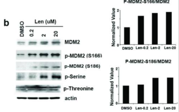 Samples were separated by SDS PAGE and then Western blotted with either anti-MDM2 (top panel) or antibodies specific to phospho-ser166, phospho-ser186, total phospho-serine or total phospho-threonine of MDM2 as indicated (left panel). Densitometric analysis was performed on Western blots shown in left panel and the level of MDM2 phosphorylation was normalized with total MDM2 as indicated (right panel)  Adapted from Wei et al. 2013. Oncogene. 32(9):1110-20. PMID: 22525275