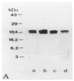 Western Blot of MBP Clone 14 used in a comparative study between anti-MBP clones and anti-EP. Figure 2. The specificity of EP antiserum examined by Western blot(A) and immunoabsorption tests(B to1).A: Lane a, anti-whole hMBP antibody; lane b, clone 14, lane c, clone 2; lane d, EP antiserum. All antibodies detected a major 18.5-kd band and a weaker 17.2-kd band in extracts of normal human brain homogenates. Source: Matsuo et al. 1997. Am J Pathol. 150(4):1253-66. PMID: 9094982.