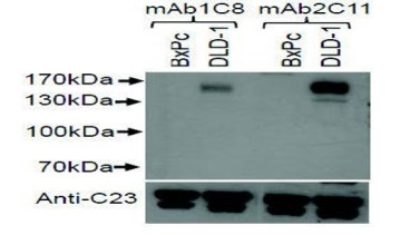 As the DLD-1 colorectal adenocarcinoma cell line is known to express c-kit, Western blot analysis was performed to determine binding. 1C8 and 2C11 both bound to the endogenous c-kit protein in DLD-1 cells but not in the c-kit negative cell line BxPc.