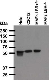 Western blot analysis of BB3SS4B5 antibody. Whole cell lysate from human (Hela) and mouse (C2C12, mouse adult fibroblasts (MAFs)) cell lines cells were separated on SDS-PAGE gel, transferred to nitrocellulose membrane and blotted with BB3SS4B5 antibody. Both primary and secondary antibodies were diluted in blocking buffer (5% nonfat dry milk resuspended in 0.1% Tween and 1X PBS). The predicted molecular weight is 70.7kDA and 71.4kDa for human and mouse LBR respectively. The absence of a band in LBR null MAFs indicated that the antibody specifically recognizes LBR.