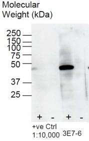 Western blot analysis using anti-BHMT [3E7] on Zebrafish embryo lysate (+) and control BHMT KO Zebrafish control lysate (-)