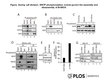 Adapted from Sarshad et al. 2013. PLoS Genet. 9(3):e1003397. PMID: 23555303. Figure. During cell division, WSTF phosphorylation events govern the assembly and disassembly of B-WICH.