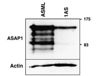Adapted from Müller et al. 2010. Oncogene; 29(16):2393-403. PMID: 20154719. Figure. Expression of ASAP1 protein in lysates of ASML and 1AS cells. ASAP1 was detected using western blot analysis and the 7B12 antibody. The position of the molecular weight markers is indicated (kDa). The western blot was subsequently stripped and probed with an anti-actin antibody as a loading control.
