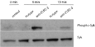 Usage of 17D9 for inducing CLEC-2 signalling: Lysates of BMDC stimulated with 17D9 or isotype matched mAb of irrelevant specificity were analysed by western blot using anti-phospho-Syk and anti-Syk antibodies