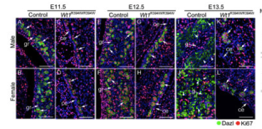 Clone 3/11A used to detect DAZL expression in ovarion tissue by Immunofluorescence. Abnormal germ cell proliferation was noted in GR-deficient embryos after sex determination. Source: Chen et al. 2013. BMC Biol. 11:22. PMID: 23497137.
