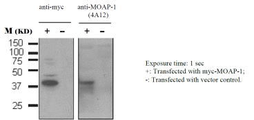 Western blot analysis of lysates prepared from U20S cells transfected with myc-MOAP-1 (+) or vector control (-). Detection was performed using an anti-Myc antibody or anti-MOAP-1 [4A12]