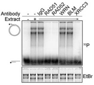 Adapted from Verdun et al Cell 127, 709–720, November 17, 2006 Homologous Recombination Can Generate a D Loop Structure with Telomeric Sequences In Vitro. D loop assays were performed with nuclear extracts (IMR90 cells) previously depleted of the indicated proteins. The signals corresponding to the loop or free probe are indicated at the left.