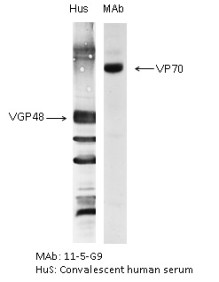 "The antigen was gradient purified RSN-A2 virus (subgroup A). First antibodies: Lane ""Hus"": RS virus convalescent human sera; Lane ""MAb"": 11-5-G9 antibody. The antigen was analysed by electrophoresis using non-reducing conditions (SDS alone) for Lane ""MAb"" and reducing conditions for Lane ""Hus"" as described in Gimenez et al. (1986).
