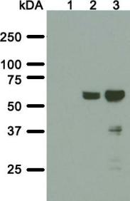 Western blot analysis of SS 3A5-E2 monoclonal antibody. Total cell lysate of parental HeLa cell line (lane 1) or HeLa polyclonal cell line stably expressing BioID2-TorsinA ΔE302/3 without (lane 2) or with induced expression (lane 3) were transferred to a nitrocellulose membrane and blotted for BPL R40G/BioID2 with SS 3A5-E2 antibody. The predicted molecular weight of BioID2-TorsinA ΔE302/3 fusion protein is 65 kDa.