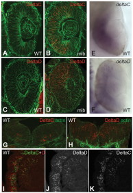 Adapted from Wright GJ, Giudicelli F, Soza-Ried C, Hanisch A, Ariza-McNaughton L, Lewis J. DeltaC and DeltaD interact as Notch ligands in the zebrafish segmentation clock. Development. 2011 Jul;138(14):2947-56. doi: 10.1242/dev.066654. Epub 2011 Jun 8. PMID: 21653612. Expression of DeltaC and DeltaD in retina and brain. (A-D) Sections of wild-type (WT) and mib mutant zebrafish retina at 24 hpf, immunostained with zdc2 and zdd2. (E,F) In situ hybridisation (ISH) of wild-type specimens (wholemounts) with probes detecting deltaC and deltaD mRNA. (G,H) Sections of hindbrain at 24 hpf, immunostained for DeltaC and DeltaD. (I-K) Section of retina and adjacent brain tissue in a 48 hpf embryo, doubly immunostained for DeltaC and DeltaD. In the retina the two proteins largely colocalise, but in the brain they are in distinct sets of cells. A-D and I-K are single confocal optical sections of 15 μm cryosections; G,H are projections of a small z-stack. A-D and G,H are counterstained for actin with fluorescent phalloidin (green).