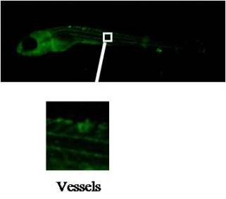 Immunostaining for FLT1 using clone Z9P4F3*H10 on whole-mount zebrafish embryo