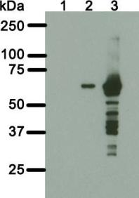 Western blot analysis of 6C4c7 monoclonal antibody. Total cell lysate of parental human fibroblasts (HF) (lane 1) or HF stably expressing GFP-NLS-BirA without (lane 2) or with induced expression (lane 3) were transferred to a nitrocellulose membrane and blotted for BirA with 6C4c7 antibody. The predicted GFP-NLS-BirA molecular weight is 66kDa.
