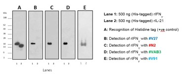 The reactivity of four monoclonal antibodies generated against salmon and trout rIFN-γ was analysed by Western blotting. Results confirmed that all mAbs recognized the rIFN-γ (18 KDa), but not the trout rIL-21 (negative control):