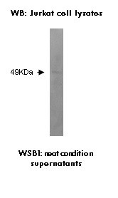 Western blot on Jurkat cell lysate using anti-WSB1 [K5P6A5].