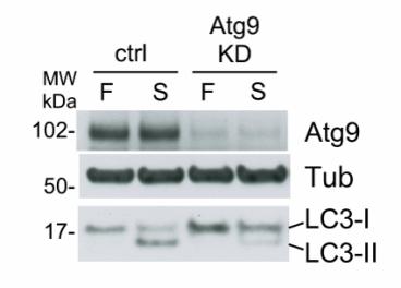 siRNA knockdown of HEK293A cells revealed with antiATG9A hamster 14f2 8B1  Orsi et al., MBoC 2012  23:1860-1873