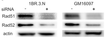 Adapted from Tang et al. 2014. PLoS One. 9(11):e111584. PMID: 25365323. Figure. Western blots demonstrating knock-down of Rad51 and Rad52 proteins in 1BR.3.N and GM16097 cells.