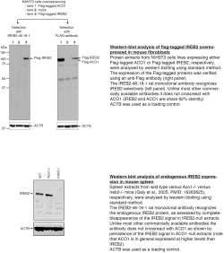 Testing of Anti-IREB2 [IREB2-46-18‐1] culture supernatants in western blotting.