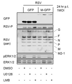 Adapted from Preugschas et al. 2019. Cell Microbiol; 21(1):e12955. PMID: 30223301. MDCK II cells were transfected with a plasmid encoding RSV M‐GFP (DMEM; 10% FCS). At 5 h p.t. media were replaced, and cells were infected with RSV long strain at 1 MOI (DMEM; 0.15% BSA). At 9 h p.t. media were replaced (MEM; 10% FCS). 6 h prior to fixation, cells were incubated in presence of MEK inhibitor U0126 (25 μM), solvent control or LMB (2.8 ng/μL) in MEM; 10% FCS. At 24 h p.t., cells were subjected to western blot analysis.