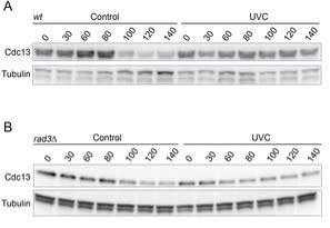 Adapted from Rothe et al. 2017. J Cell Sci; 130(23):4028-4037. PMID: 29046339. Figure. Cdc13 protein level is specifically downregulated in response to UV. Wild-type (wt), rad3Δ and cdc25-6PK strains were synchronized in G2 phase before irradiation with UV. Samples were collected at the indicated time points. Immunoblots of wt (A) and rad3Δ (B) strains showing Cdc13 protein level in control and UV-treated samples