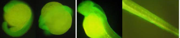 Immunofluorescence on whole-mount zebrafish embryos from two developmental stages performed using Anti-VTN2 [1A5] at a dilution of 1:1000.