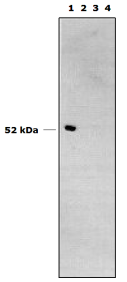 Western blot using Anti-Cytochrome P450 1B1 [5D3]. (1) microsomes from human lymphoblastoid cells expressing rhCYP1B1, (2) microsomes from human lymphoblastoid cells expressing rhCYP1A1, (3) expression vector control, (4) normal human liver microsomes (10mcg microsomal protein/lane, all from Gentest Corp).