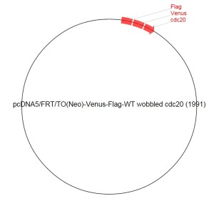 Image for pcDNA5/FRT/TO(Neo)-Venus-Flag-WT wobbled cdc20 (1991) Vector
