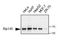Western blotting on an array of lysates prepared from cultured cells using anti-RIP140 [6D7]. Antibody dilution: 1/500, incubated o/n in PBS+NaN3. Secondary: anti-mouse HRP, 1/2000, 1h. Exposure: 1min