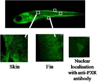 Immunostaining of PXR using clone V11P4G11*E7 on whole-mount zebrafish embryo