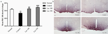 Oral lactate administration regulated protein kinase C (PKC) expression in the hypothalamic area. (a) Both the lactate 100 and 250 groups significantly upregulated the mean PKC-IR cell density in the hypothalamus (n = 6). (b) Representative images of all groups for PKC+ cell expression in hypothalamic region. PKC density was markedly increased in both lactate groups compared to the control group (the scale bar represents 200 µm). Values are presented as mean ± SEM. ** show differences between the normal and control groups, while ## and ### show significant differences between the control group and treatment groups. ## p < 0.01 and ### p < 0.001. The p-value of the test was <0.001 by one-way ANOVA, followed by a post hoc LSD test.  Adapted from Shaif et al Biomedicines 2018, 6, 108; doi:10.3390/biomedicines6040108