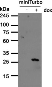 The anti-BirA antibody clone 5B11c3-3 recognized miniTurbo BirA variant. Immortalized human fibroblast (HF) stably expressing miniTurbo without (- dox) or with (+ dox) induced expression were lysed and analysed by Western blot with the 5B11c3-3 antibody. Both primary and secondary antibodies were diluted in blocking buffer (5% nonfat dry milk resuspended in 0.1% Tween and 1X PBS). The predicted miniTurbo molecular weight is 28 kDa.