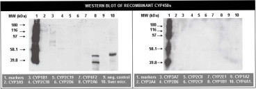 Image for Anti-Cytochrome P450 2A6 [RP1.2B4]
