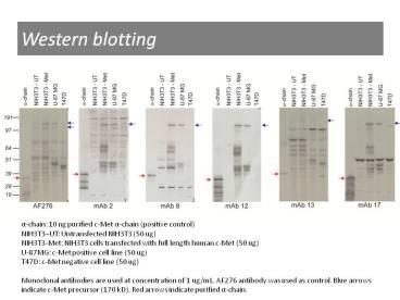 Western blotting using anti-c-Met [8]