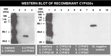 Western Blot of recombinant CYP450s