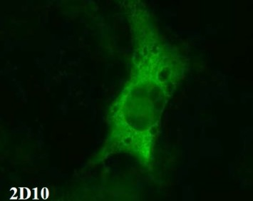 Immunofluorescence staining of cos-1 cells overexpressing beta3. Detection was performed using FITC conjugated anti-IgG.