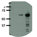 Western blot analysis of 5B11c3-3 monoclonal antibody. Immortalized human fibroblast (HF) (control) or HF stably expressing a green fluorescence protein (GFP) fused to a nuclear localization signal (NLS) and BirA (GFP-NLS-BirA) without (- dox) or with (+ dox) induced expression were lysed and analysed by Western blot for BirA with 5B11c3-3 antibody. Both primary and secondary antibodies were diluted in blocking buffer (5% nonfat dry milk resuspended in 0.1% Tween and 1X PBS). The predicted GFP-NLS-BirA molecular weight is 66 kDa.