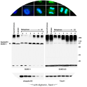 Image for Anti-SUMO-2/SUMO-3 (8A2) antibody