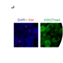 Figure 1 – Xist-TetOP ΔB+1/2C XY ESCs (source: Bousard et al., 2019 PMID: 31356285). A.Deletion mapping by Sanger sequencing and expression analysis across the deleted region; the scheme represents only the first exon of Xist, red arrows indicate forward primers, and green arrows represent reverse primers; the primer on the left is the sequencing primer for each mutant; B means PCR blank. B.Representative image of combined immunofluorescence (IF for H3K27me3 or H2AK119ub (green) with RNA FISH for Xist (red) in Xist ΔB+1/2C mutant at day 2 of differentiation in DOX conditions; blue - DAPI staining