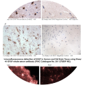 Immunohistochemical detection of GFAP in Human and Rat Brain Tissue using Sheep Anti-GFAP whole serum antibody (PINC Catalogue No. Sh1-270509-WS).
