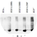 Western blot was performed on cell lysates from 293T +/- transfected with a cDNA for expressing GST using anti-GST [1E10]