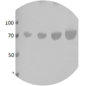 Western blot of BSA protein loaded; Lane 1, 250ng. Lane 2, 500ng. Lane 3, 1000ng. Lane 4, 2000ng. Anti-BSA scFv (HRP) recombinant antibody used at 1/500 dilution. 