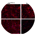 Monolayers of B2bshRNA.luc and B2bshRNA.Sdc1 cells were immunostained for the β1 integrin subunit (red) using all (clone AIIB2) or active conformation-specific (Anti-CD29 [12G10]) antibodies. Immunofluorescent images counterstained with Dapi (scale bar = 100 µm). Taken from Chen et al., 2009. PLoS One. 2009 Aug 10;4(8)