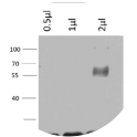 Image for Anti-GST scFv recombinant antibody (HRP)