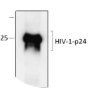 Western blot analysis of recombinant p24 protein, under denaturing conditions, probed using Anti-HIV1 p24 scFV recombinant antibody (HRP)