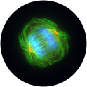 Mitotic cell of human glioblastoma cell line T98G. Microtubules are stained with mouse monoclonal antibody TU-01 to alpha-tubulin (green), centrosomes with rabbit polyclonal antibody to alpha-tubulin (red), chromosomes with DNA-binding dye DAPI (blue).